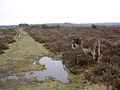 New Forest donkeys southeast of Beaulieu Road station, New Forest - geograph.org.uk - 26265.jpg