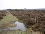 File:New Forest donkeys southeast of Beaulieu Road station, New Forest - geograph.org.uk - 26265.jpg