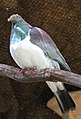 New Zealand pigeon 3 (31305645100).jpg