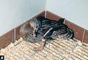 داء يصيب الدجاج ويؤدي الى نفوقه 176px-Newcastle_disease_in_a_mallard