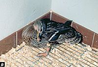Newcastle disease in a mallard.JPG