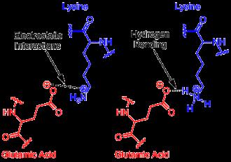 Salt bridge (protein and supramolecular) - Figure 1. Example of salt bridge between amino acids glutamic acid and lysine demonstrating electrostatic interaction and hydrogen bonding