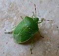 Nezara viridula. Pentatomidae. - Flickr - gailhampshire.jpg