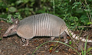 Armadillo family of mammals
