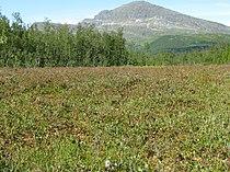 Nordland-bog-cloudberries.jpg