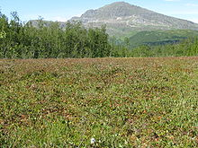 Nordland-bog-cloudberries.jpg
