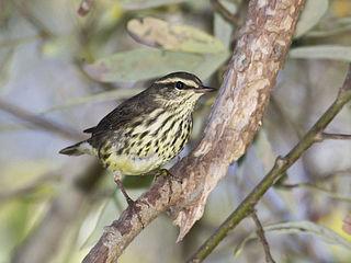 Northern waterthrush species of bird