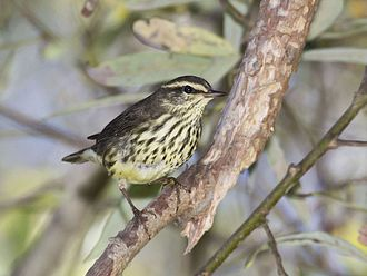 Northern waterthrush - Image: Northern Waterthrush, Parkesia noveboracensis
