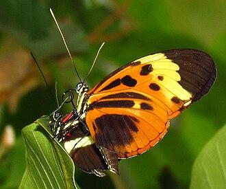 Heliconius - Numata longwing (Heliconius numata)