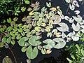 Nymphaea leibergii5 (5097938122).jpg