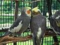 Nymphicus hollandicus -Potter Park Zoo, Michigan, USA-8a (1).jpg