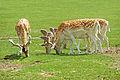 ONTARIO-00542 - Fallow Deer (14848574611).jpg