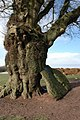 Oak tree with a boulder resting against it. - geograph.org.uk - 336562.jpg