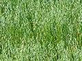 Oat in a field in Gåseberg.jpg