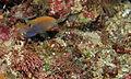 Ocellate Damselfish (Pomacentrus vaiuli) (8481664230).jpg
