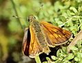 Ochlodes sylvanus, Large Skipper, Trawscoed, North Wales, July 2015 (1) (21059701023).jpg