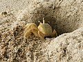 Ocypode quadrata (digging).jpg