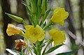 Oenothera biennis (7446866760).jpg