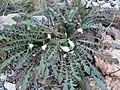 Oenothera cavernae 2.jpg