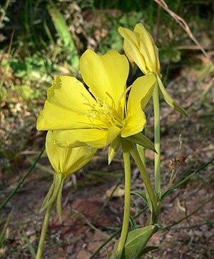 Oenothera longissima - Image: Oenothera longissima 4