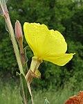 Oenothera stricta flower11 (15678484501).jpg