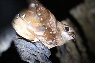 Oilbird - Oilbird on a ledge in a cave
