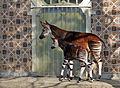 Okapi and son.jpg