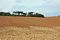 Old Fall plantation - geograph.org.uk - 1456098.jpg