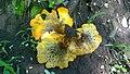 Omphalotus olearius (DC.) Singer 699865.jpg