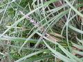 Ophiopogon jaburan3.jpg