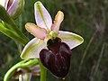 Ophrys (7376855026).jpg