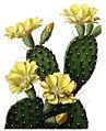 Opuntia decumbens BlKakteenT132.jpg