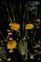 Opuntia engelmannii - Guadalupe Mountains National Park GUMO3343.jpg