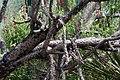 Opuntia imbricata 13zz.jpg