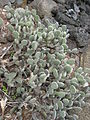 Opuntia microdasys - Parc Exotica.jpg