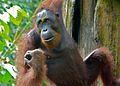 Orang Utan (Pongo pygmaeus) male (8066226485).jpg
