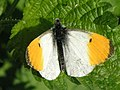 Orange Tip Butterfly - geograph.org.uk - 422279.jpg