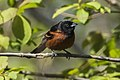 Orchard Oriole - Point Pelee - Ontario 10052017-FJ0A3591 (39783825862).jpg