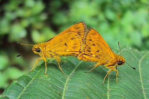Oriens goloides - Smaller Dartlet Mating 03