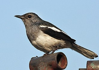 Oriental magpie-robin - Female of the nominate race (India)