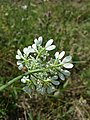 Orlaya grandiflora sl5.jpg
