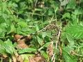 Orthetrum sabina - Green Marsh Hawk at Mayyil (4).jpg