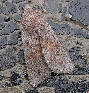 <i>Orthosia opima</i> species of insect