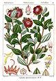 Osbeckia gardneriana Rungiah.jpg
