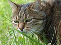 Oslo, brown tabby female cat, 11 years (1).jpg