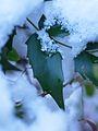 Osmanthus heterophyllus, leaf 01.jpg