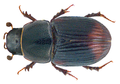 Otophorus haemorrhoidalis (Linné, 1758) Syn.- Aphodius (Otophorus) haemorrhoidalis (Linné, 1758) (31309576312).png