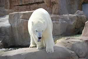 Parques Reunidos - Polar bear at Marineland of Antibes, France