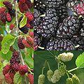 Owoce Morwa.jpg