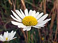 Oxeye Daisy (Leucanthemum vulgare) (4837182901).jpg